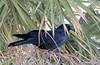 Fish Crow (Corvus ossifragus); Englewood Beach, FL [Lou Feltz] (deserttoad) Tags: nature water animal park florida bird wildbird swamp corvid crow behavior