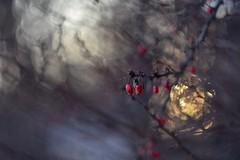 Berberis and March sun. (agnieszka.a.morawska) Tags: nikon manualfocus manuallens winter bkhq beyondbokeh bokehlicious helios44m helios44 helios berberis bokeh