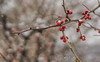 """1st Full Day of Spring (Light Echoes) Tags: sony a6000 50mm bokeh 2018 spring snow quince red """"sonyflickraward"""