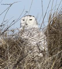 Snowy Owl (Bubo scandiacus) (Frank Mantlik) Tags: snowyowl buboscandiacus connecticut