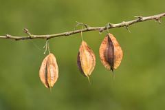 I  I I (rooibusch) Tags: berlin schlossgarten schlosparkcharlottenburg seed plant