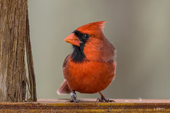 Northern Cardinal / Cardinal rouge (shimmer5641) Tags: cardinaliscardinalis northerncardinal cardinalrouge northerncardinalmale songbird commoncardinal redbird birdsofnorthamerica birdsofcanada cardinalsgrosbeaksandbuntingsfamily