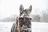 Mule in the Snow (AndrewCline) Tags: snow storm mule animal cold winter livestock farm field newengland newhampshire freezing face eye ear head blanket brrrr agriculture rustic rural