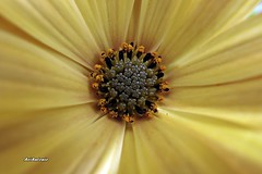 Inside the flower. (AviAntonio) Tags: margarida colors flor margarita colores