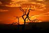 Sunset South Africa_4465 (ichauvel) Tags: coucherdesoleil sunset ceil sky orange lumiére light parckruger krugernationalpark afrique africa southafrica afriquedusud voyage travel exterieur outside arbre tree branche