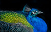 9 marzo 2018, il pavone (adrianaaprati) Tags: peacock head beauty eyes feathers bird closeup colors blue green gold drawing