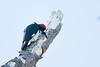 DSC_0848.jpg Acorn Woodpecker, Twin Lakes (ldjaffe) Tags: acornwoodpecker schwanlake twinlakes