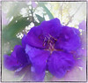 I don't know what the key to success is, but the key to failure is trying to please everyone (Anonymous) (boeckli) Tags: flowers purple tibouchina flower blume blumen lila pflanzen plants blooms blossoms flora fleur outdoor photoborder topaz googlenik textures texturen textured painterly doublefantasy