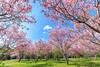 新社-月湖莊園 (GroAgrippa) Tags: 台中 台灣 新社 月湖莊園 櫻花 新社區 台中市 tw