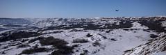 On a Wing & a Prayer (D.Spence Photography) Tags: dryislandbuffalojump winter landscape sky rock snow grass animal bird raven river valley reddeerriver alberta canada blue