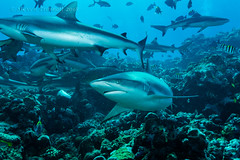 Yeah, there were a few sharks in Yap (- drsteve -) Tags: scuba diving underwater shark frenzy grey reef blacktip blue coral yap micronesia fsm