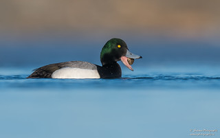 Greater Scaup (male)
