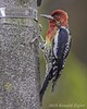 Red-breasted Sapsucker IMG_7793 (ronzigler) Tags: redbreasted sapsucker wildlife nature woodpecker bird avian birdwatcher