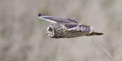 Gliding by -SEO (Alan McCluskie) Tags: shortearedowl asioflammeus owl seo birdofprey bop birdinflight bif predator wings feathers ukbirds nature wildlife animal canon7dmk2 sigma150600mmsp aves avian oiseau