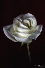 Midnight Rose (J H Newton Images) Tags: shadowsandlight botanic floral flower rose whiterose