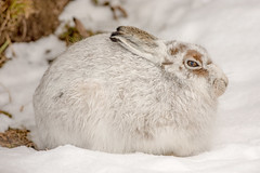 JWL7966  Mountain Hare... (jefflack Wildlife&Nature) Tags: mountainhare mountain mountains snow moorland moors heathland heaths heather animal animals mammal hares hare countryside cairngorms findhorn scotland highlands nature