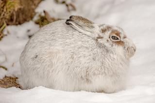 JWL7966  Mountain Hare...