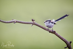 LONG-TAILED TIT 5 (Nigel Bewley) Tags: longtailedtit aegithaloscaudatus ealing london england uk spring wildlife naturalhistory greatoutdoors wildlifephotography endangeredwildlife bird birds avian birdlife distinguishedbirds birdwatcher creativephotography artphotography unlimitedphotos march march2018 nigelbewley photologo rspb bto springwatch