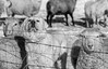 I'm a sheepses (Tracey Rennie) Tags: sheep monochrome alberta fence dog bokeh