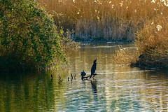 Shut your mouth Mr Cormorant (stellagrimsdale) Tags: cormorant lake cheshuntlakes water reflections reeds bird wood fantasticnature