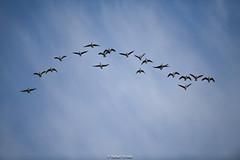 Canada Goose (Rafael Arvelo C.) Tags: