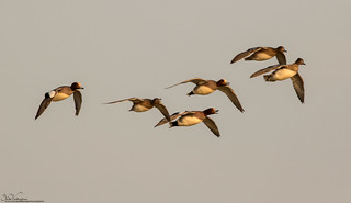 Whistling Wigeon