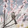 Brown-eared bulbul with plum blossoms (Big Ben in Japan) Tags: bird brownearedbulbul hiyodori plumblossoms ume