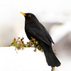 Blackbird (steve whiteley) Tags: bird birdphotography animal wildlife wildlifephotography nature blackbird turdudmerula