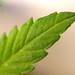Autocultivo pequeña planta cannabis 14