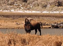 DSC_0062 (M.Lockner) Tags: march yellowstone national park nature wildlife montana usa bison buffalo madelenelockner