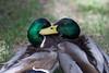 Amigos do Peito (Carlos Santos - Alapraia) Tags: pato duck ngc ourplanet animalplanet canon nature natureza wonderfulworld highqualityanimals unlimitedphotos fantasticnature birdwatcher ave bird pássaro
