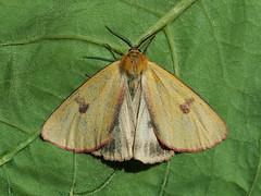 Diacrisia sannio ♂ - Clouded buff (male) - Медведица луговая (самец) (Cossus) Tags: arctiidae arctiinae arctiini diacrisia erebidae медведица пестово 2015