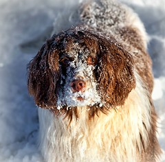 Fun in the snow (6) (Missy Jussy) Tags: funny happiness snow winter britishweather mollie molliemunch englishspringer springerspaniel spaniel cold beastfromtheeast animal dog dogwalk pet play funinthesnow canon 5d canon5dmarkll canon5d canoneos5dmarkii 70200mm ef70200mmf4lusm ef70200mm canon70200mm sunlight