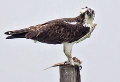 _40A1560 (ChefeGrande) Tags: bird birdofprey outdoor osprey seahawk fish pole perched eatingfish prey coastal seashore seaside sea bay predetor raptor westernosprey pandionhaliaetus fishhawk texas