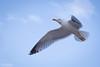Mouette (pilou.basco) Tags: oiseau mouette bird birds oiseaux vole fly sud france french 2017 canon eos 6d ciel sky