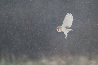 Tonight I had the pleasure of watching TWO Barn Owls hunting together in the snow!