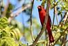 Cardinal (enriquegonzalez11) Tags: 5star