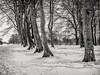 Trunks and Snow (stevedewey2000) Tags: wiltshire salisburyplain trees blackandwhite bw desaturated monochrome niksilverefexpro spta sptacentre snow treescape copse clump stand sigmasdquattro sigma30mmf14art