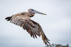 Brown Pelican - South Carolina (hmthelords) Tags: southcarolinabirds