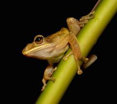 Golden Tree Frog (Polypedates leucomystax, Rhacophoridae) (John Horstman (itchydogimages, SINOBUG)) Tags: china yunnan itchydogimages frog amphibian animal herpetology rhacophoridae black explore topf25 topf50