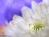 Tears come from the heart and not from the brain (Karsten Gieselmann) Tags: 60mmf28 blumen blüten bokeh chrysantheme dof em5markii lila mzuiko microfourthirds natur olympus pflanzen schärfentiefe textur weis blossom chrysanthemum flower kgiesel m43 mft nature purple texture violett white burglengenfeld bayern deutschland