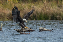 Coming in for the Landing (Michael Allen Siebold (Getty Images Contributor)) Tags: baldeagle blue eagle mature raptor action adult bird birding driftwood flight flying freeflying lake landing log logs motion oneanimal preditor water wild wildlife