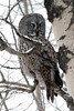 Great Grey Owl (Boreal Impressions) Tags: greatgreyowl owl greatgrey winter snow borealforest forest foothills canadianrockies nature nationalpark north nikon nest park perch ggo wildlife wilderness wild outdoor predator prey hunter