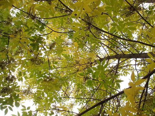 Листья ясеня ©  ayampolsky