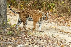 Stepping out (Shayon Ghosh) Tags: canon canon7dmarkii bengaltiger indiantiger tigress indianwildlife wildlife pantheratigristigris bigcats jungle tigerreserve bijrani jimcorbettnationalpark uttarakhand india nature
