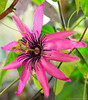 Passiflora 'Pura Vida' (graeme95) Tags: passiflora passionflower hybrid flourescentlight