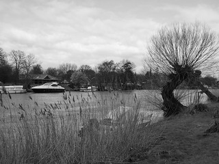Thames Weeping Willow