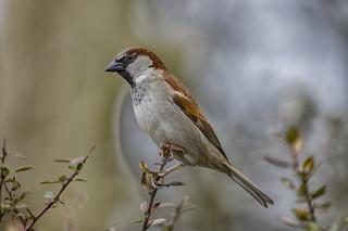 85O_9278 Sparrow