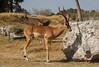 gacela (guilletho) Tags: zoologico animal gacela sombra shadow rock piedra canon mexico gazelle zoo zoological