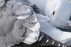 Meditation on a Seagull... [read more] (Selkii's Photos) Tags: birds britishcolumbia esquimalt esquimaltlagoon gull herringgull seagull vancouverisland victoria
